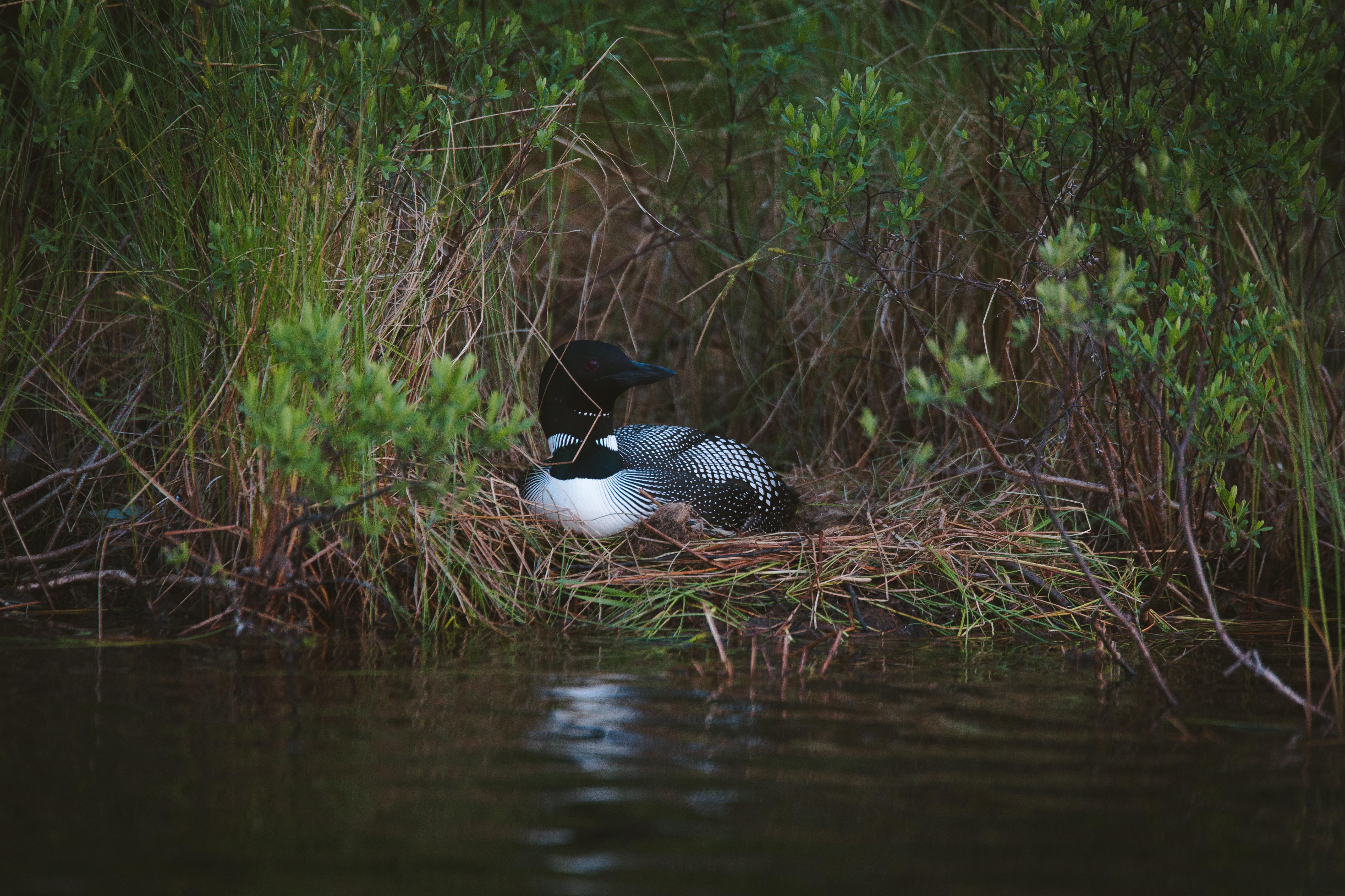 Nesting loon on Section 12 lake
